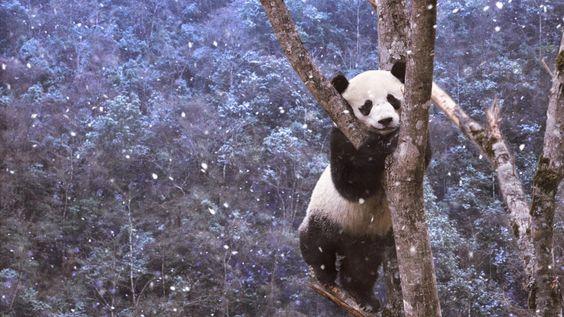Panda just hanging around tree tops in Sichuan, China