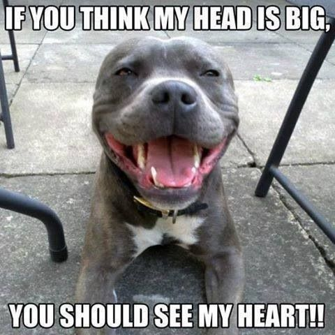 How Big Is Your Heart Pitbulls Funny Animals Pitbull Terrier
