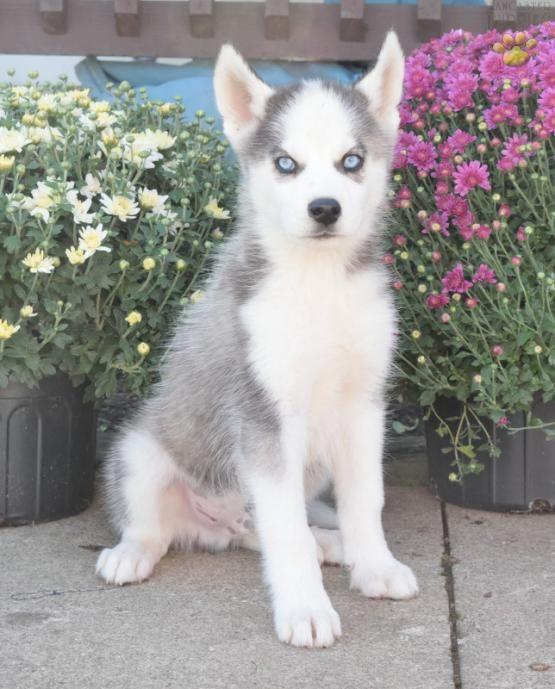 Bandit - Huskimo Puppy for Sale in Applecreek, OH | Lancaster Puppies