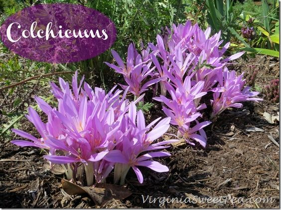 Colchicums: pretty Fall-blooming bulbs!
