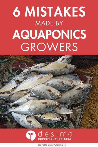 Read this guide before starting your aquaponics system. If you plan your system right, you will be able grow healthy fish and have delicious organic food to eat for your family.
