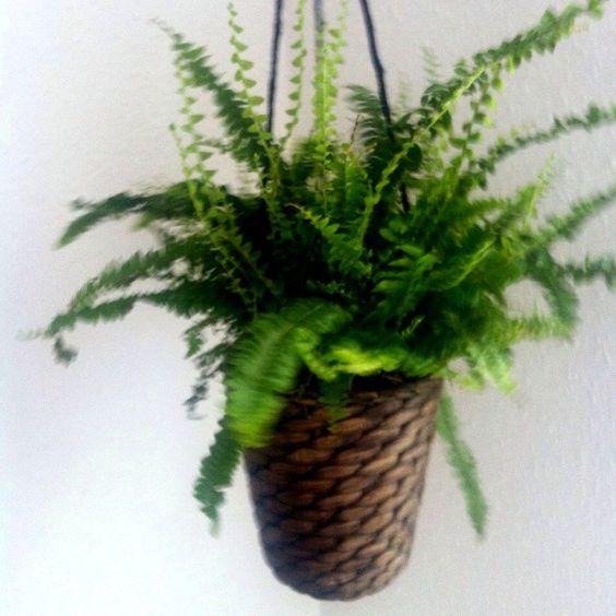 Samambaia. Love this hanging plant!!  #plants #loveit #home #hang