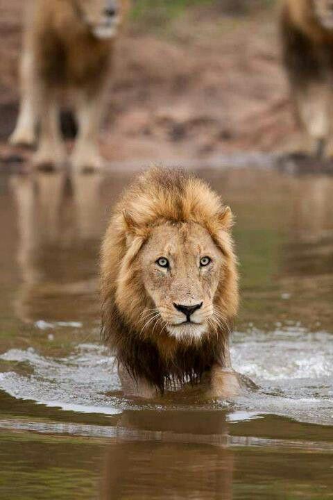 Lion - █ GRRRR - #lamistardilocast #félin #chat #guépard #panthère #cougar #tigre #lion #jaguar #léopard #lynx #puma #serval #margay #ocelot #chat_de_temminck #chat_des_sables #caracal #manul #chat_pêcheur #feline #cat #wildcat #cheetah #panther #tiger #leopard #rufous_cat #cat_temminck #cat_swamp #sand_cat #fishing_cat #kato #leopardo #tigro #leono #jaguaro #pumo #linko #león #lince #tigrillo - GRRRR █
