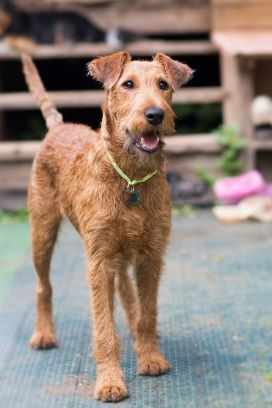 The Top-15 Best Hypo-Allergenic Dog Breeds That Don't Shed
