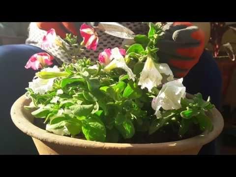 Petunia Plant Care प ट न य क द खभ ल Youtube