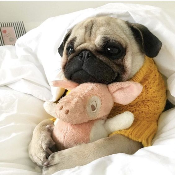 Cute Pug Going To Sleep Pugsonthebed Pugs Pugswearingclothes
