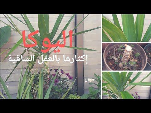 إكثار اليوكا بأسهل و أسرع طريقة Yucca Propagation Youtube Plants