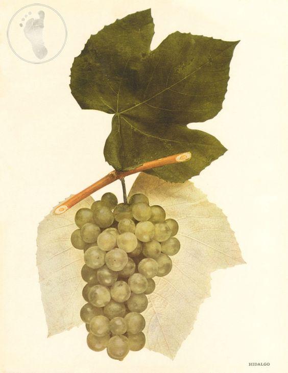 New York Wine Grapes - Hidalgo | Stomping Grounds Giclee Print $13.95