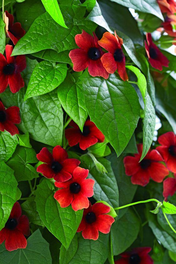 ✿ Spring wish list ✿  Thunbergia alata 'Arizona Glow'