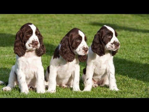 New English Springer Spaniel Puppies For Sale 3 Female Springer Puppies Ready In India Youtube Springer Spaniel Puppies Spaniel Puppies Springer Spaniel