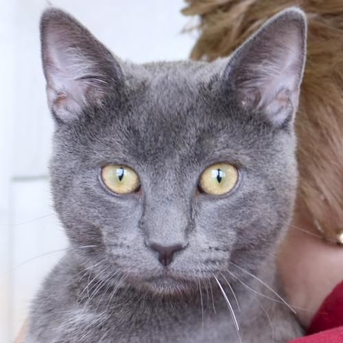 Hi I M Slate I M An Adult Neutered Male Gray Domestic Short Hair More Information Coming Soon I M Currently Staying At Petsmart West In Madison My Adop