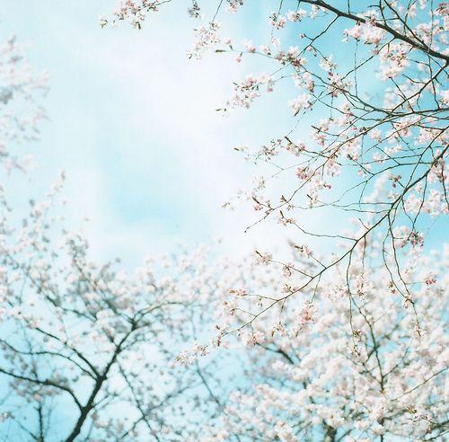 blossoms. blue skies(: