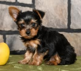 Juliet Teacup Yorkshire Terrier Puppy For Sale In Strasburg Pa Lancaster Puppies Yorkshire Terrier Puppies Yorkshire Terrier Lancaster Puppies