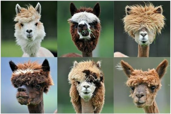alpaca hair dos.