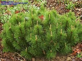 Mature size of pinus banksiana broom opinion