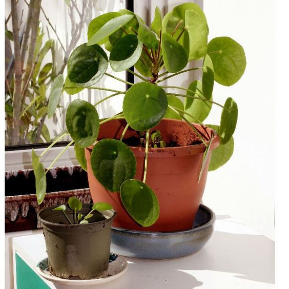 The Pilea peperomioides is an evergreen indoor house plant that is easy to grow and looks excellent again a modern setting. They are easy to propagate and look after.