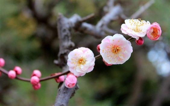 cerisiers en fleurs - Recherche Google