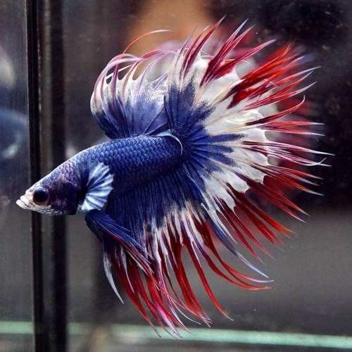 Live Betta Fish Perfect Captain America Crowntail Ct Male 301