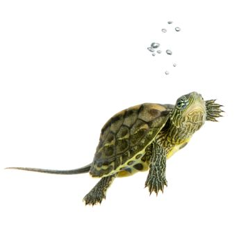 Image detail for -Turtles As Pets: Facts and resources about keeping pet turtles.
