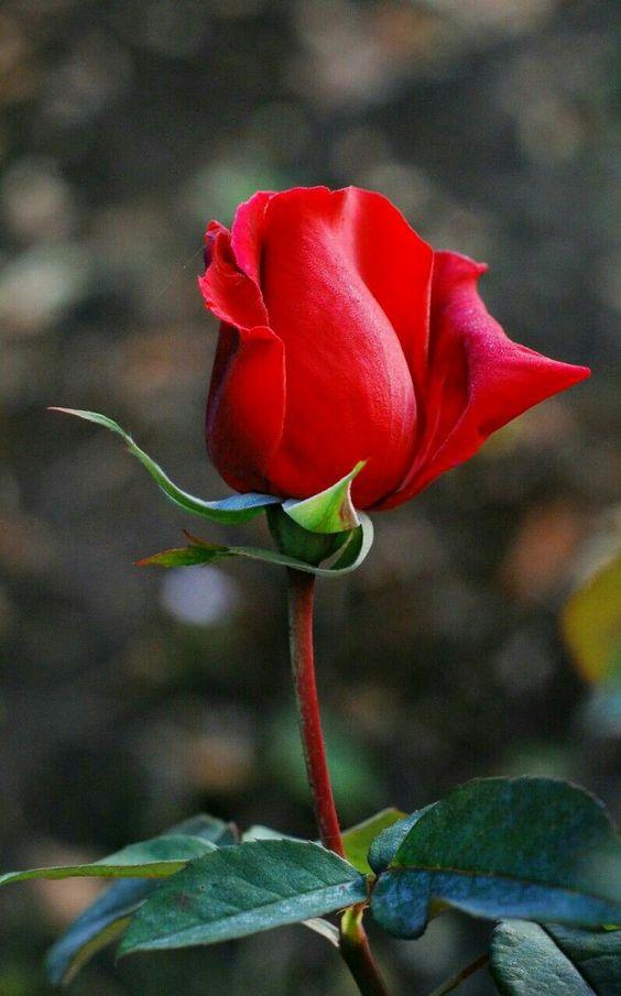 Red Rose Bud in Garden Photo