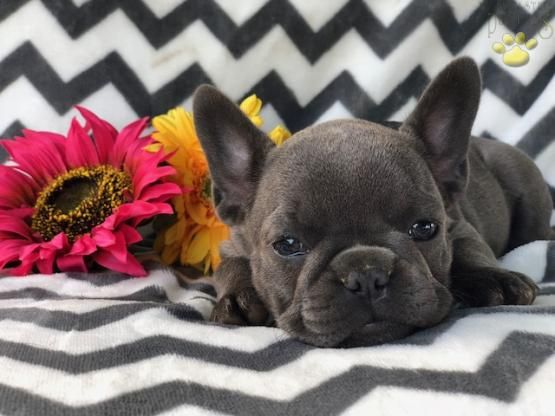 Pin By Michael Yew On Frenchie Bulldog Puppies For Sale French