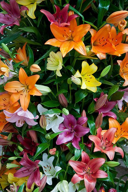 An unbelievable assortment of neon colors in these Asiatic lilies, in a special exhibit at Longwood Gardens.: