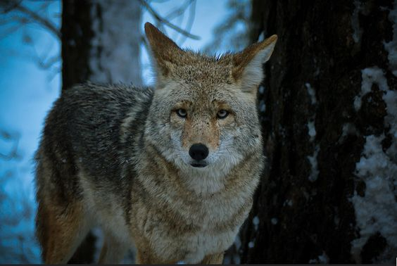 Coyote staring contest by Chris Esler on flickr