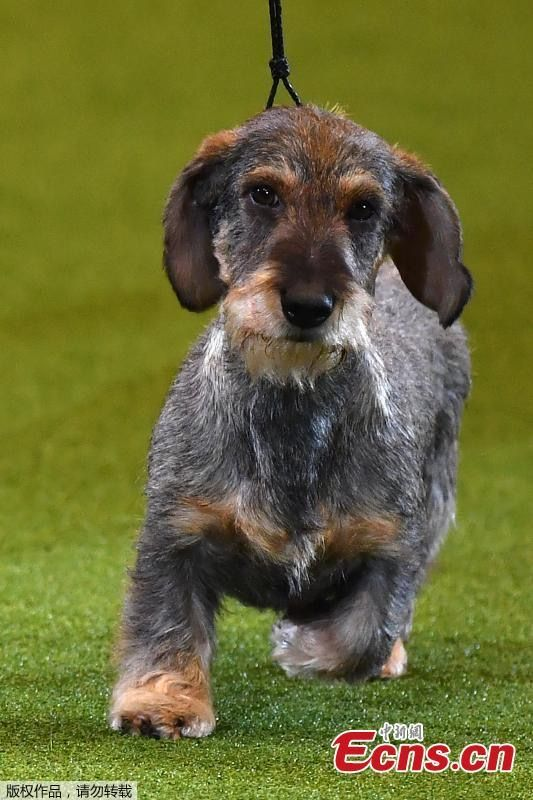 Maisie In 2020 Wire Haired Dachshund