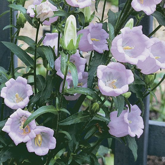 Calycanthema Canterbury Bells Finegardening Campanula Fine Gardening Plants