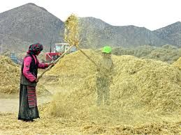 Tibet - Google Search,barley throwing