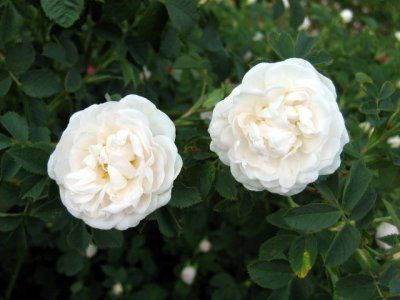 English Alba Rose
