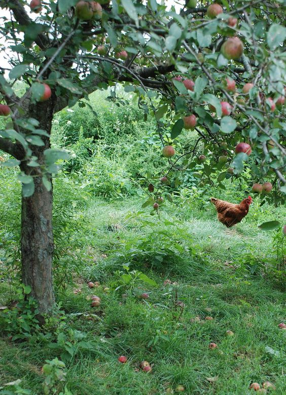 Hen in the Orchard | Flickr - Photo Sharing!