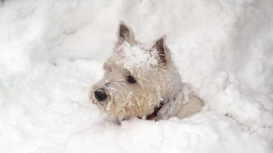 Snow in Scotland! Yup! When I have a dog again, I'll have to get a Westie again!: