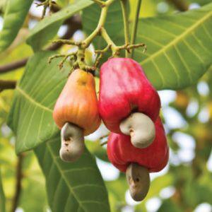 Arbolitos de nuez de la india anacardium occidentale for Vivero online mexico