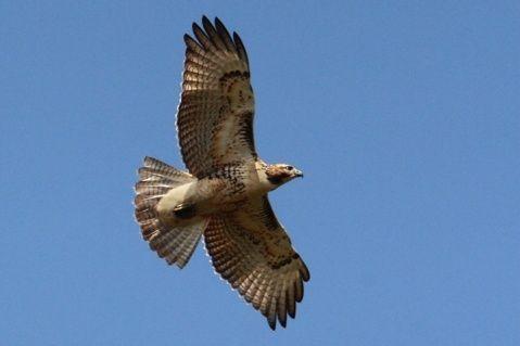 Hawk flying in a Michigan blue