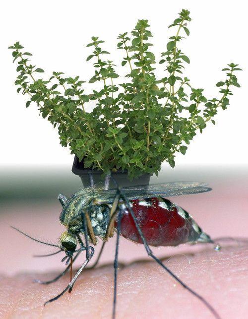 "Hirt's Mosquito Repelling Creeping Lemon Thyme Plant - FANTASTIC! - 3"""" Pot"