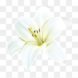 Flower Png Vector Psd And Clipart With Transparent Background For Free Download Pngtree White Flower Png Flower Png Images Lily Flower