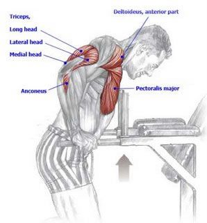 muscles-used-in-chest-dips | anatomy | Pinterest | Dips