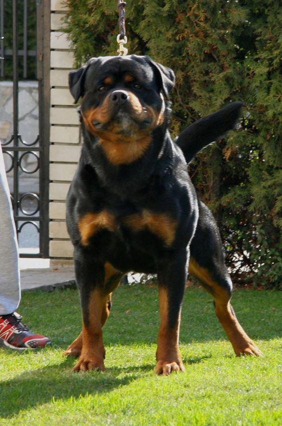 The Funny Rottweiler Puppy Pictures Dog Breeds Puppies