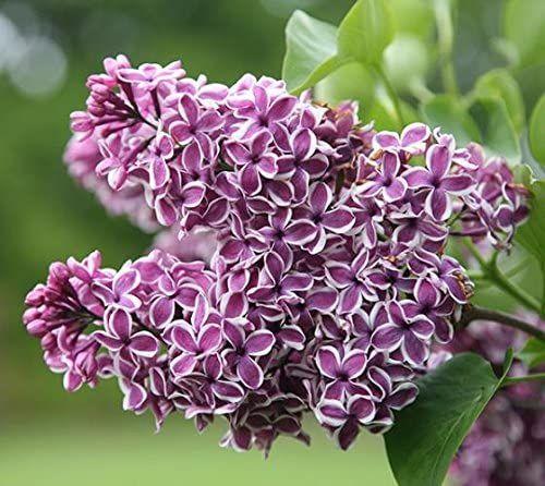 Amazon Com President Grevy Blue French Lilac Syringa Live Plant Quart Pot Garden Outdoor In 2020 Syringa Vulgaris Lilac Bushes Syringa