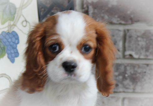 Adopt A Purebred Cavalier King Charles Spaniel Puppy Today Vip Puppies Works Wit In 2020 Spaniel Puppies For Sale King Charles Cavalier Spaniel Puppy King Charles Dog