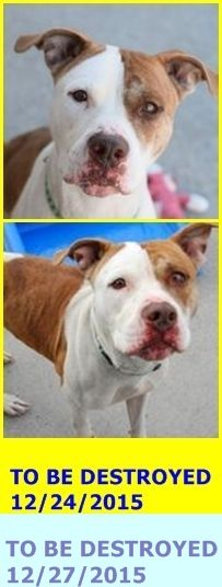 SAFE 12-27-2015 by Amsterdog Animal Rescue --- Brooklyn Center – P  My name is SANDY. My Animal ID # is A1060871. I am a female br brindle and white am pit bull ter mix. The shelter thinks I am about 2 YEARS  I came in the shelter as a STRAY on 12/18/2015 from NY 11203, owner surrender reason stated was STRAY. http://nycdogs.urgentpodr.org/sandy-a1060871/