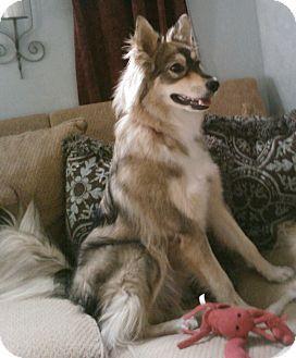 Chandler, AZ - Husky/Collie Mix. Meet Eva a Puppy for Adoption. | What a beautiful girl!!