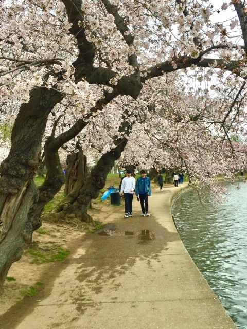 Washington Dc Cherry Blossom Tour Nonpartisan Pedicab In 2021 Cherry Blossom Tour Japan Landscape Cherry Blossom Dc