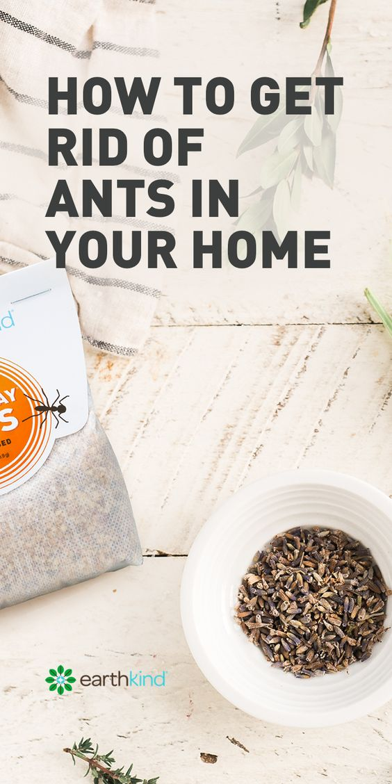 Ants may be the most common of all household pests. Most ants are a harmless nuisance but some species such as carpenter ants and fire ants can cause problems. Even the 'harmless' types of ants tend to travel in large numbers, invading homes and contaminating food. #ants #household #tips #howto