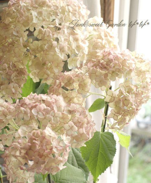 紫陽花アナベル ピンクアナベル ピコティシャルマン すべての商品 Junk Sweet Garden Tef Tef 紫陽花 コンテナガーデン 花