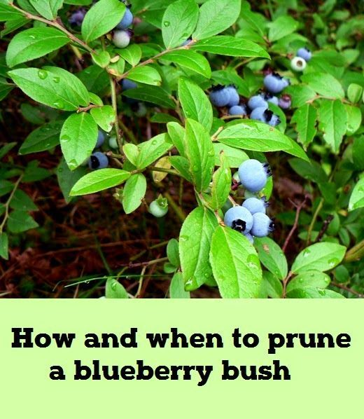 How And When To Prune A Blueberry Bush Organic Gardening Blueberry Bushes Organic Vegetable Garden Organic Gardening Tips