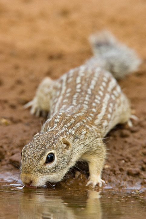 Mexican Ground Squirrel (copyright: Greg Lasley):