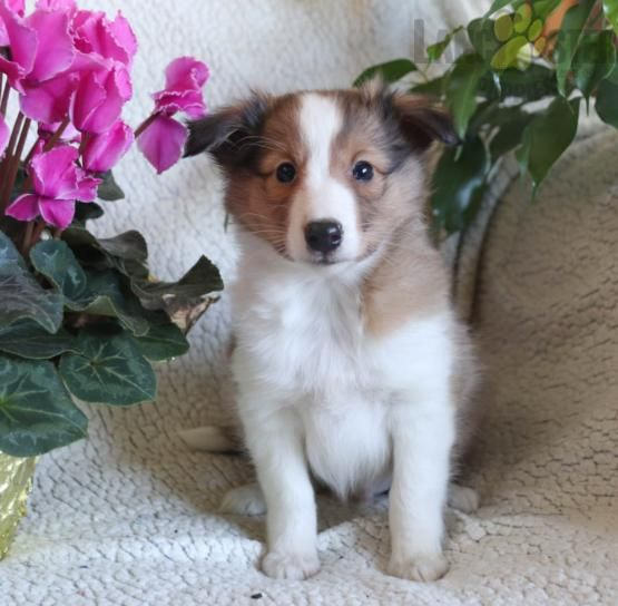 Falcon Shetland Sheepdog Puppy For Sale In Strasburg Pa Lancaster Puppies In 2020 Sheep Dog Puppy Shetland Sheepdog Shetland Sheepdog Puppies