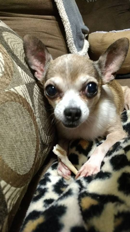 Hearty Heart For Dogs Cute Chihuahua Chihuahua Love Pets